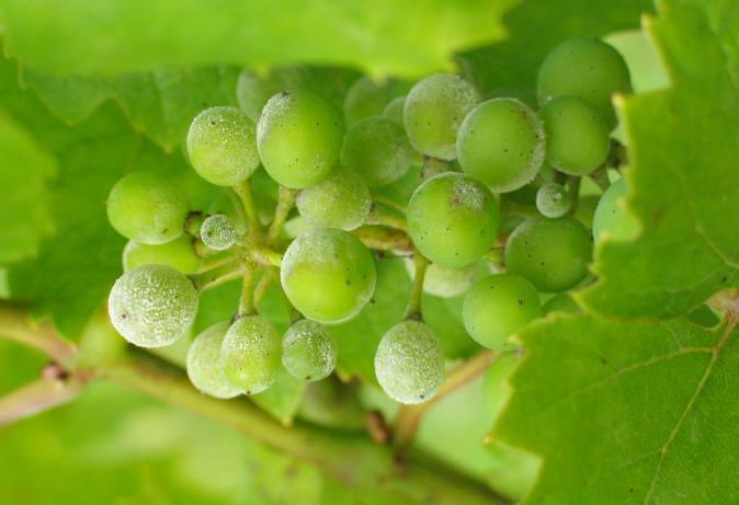 Мучнистая роса поражает зеленые части винограда, в особенности завязи