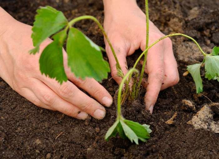 Посадить клубнику под зиму можно в большинстве регионов нашей страны
