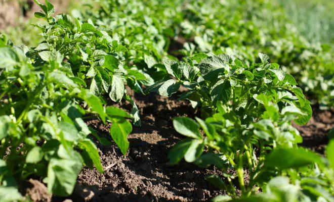 Голландский метод выращивания картофеля – самый известный