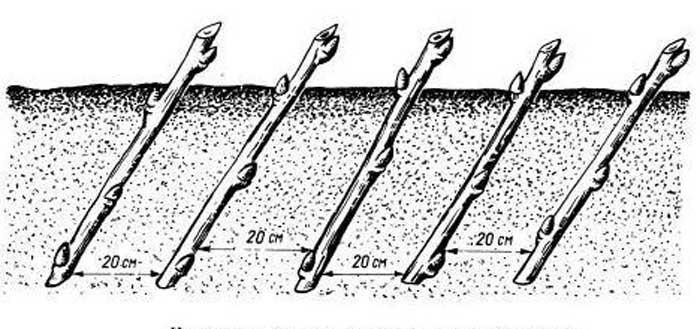 Высаживать черенки можно прямо или с наклоном, осуществляя заглубление посадочного материала в почву примерно на 2-2,5 см