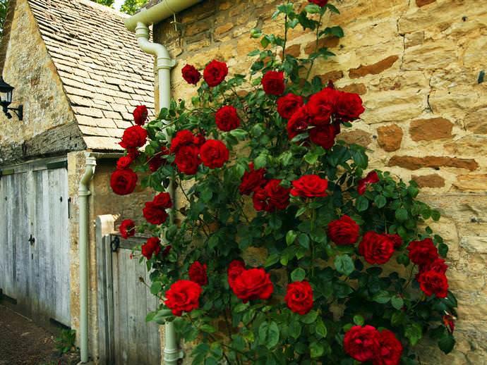 Наиболее комфортные условия для культивирования плетистых роз могут быть представлены всего лишь южной стороной любого здания