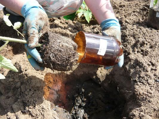 Посадка помидоров в открытый грунт в Украине предполагает соблюдение технологии выращивания овощной культуры