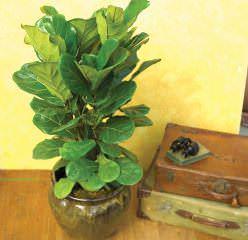 Фикус лировидный – вечнозеленое дерево