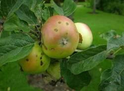 Парша поражает листья и плоды яблони