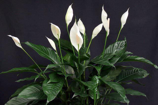 Спатифиллум достаточно легко переносит затенение и очень обильно цветет на протяжении большей части года