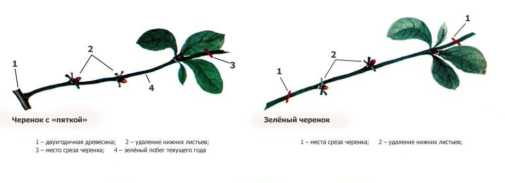 Размножение черенками хорошо тем, что приживается примерно 98% посадочного материала