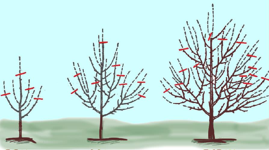 Правильная подрезка, а также своевременное удаление всех лишних ветвей способствует равномерному освещению кроны и её вентиляции, что позволяет получить высокий и качественный урожай