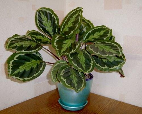 Калатея – широко распространенное комнатное растение из семейства марантовые