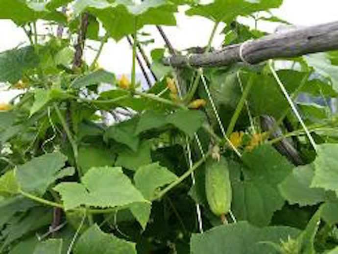 Огурцы культивируются в нашей стране повсеместно и вне зависимости от погодных условий региона