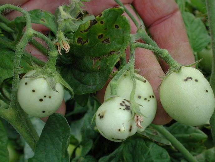 Высокая эффективность Фитоспорина отмечена против бактериальной инфекции огородных культур