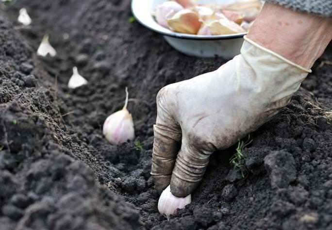 Сажать чеснок согласно лунному календарю следует 25 или 26 октября