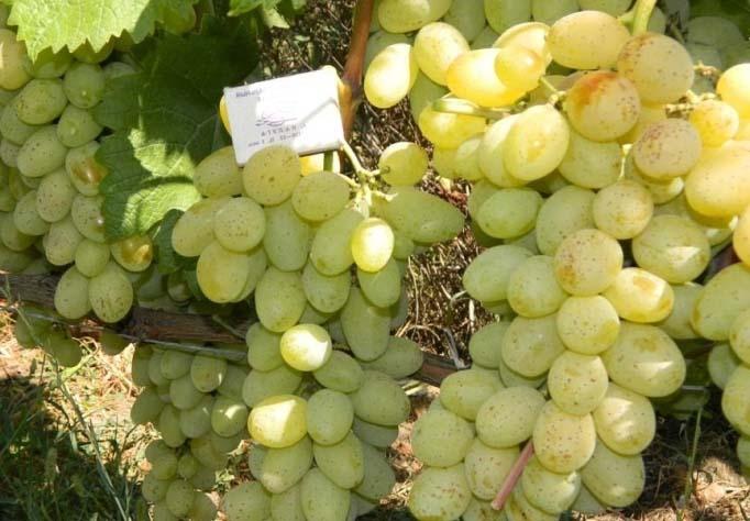 Виноград «Валентина» относится к устойчивым, относительно новым и малораспространенным гибридным формам