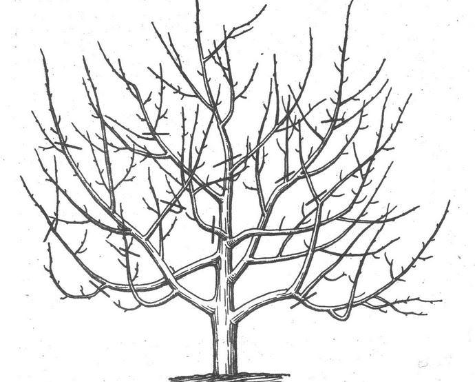 В летний период грушевое дерево очень важно обрезать при наличии сильно загущенной кроны, что может мешать вызреванию плодов
