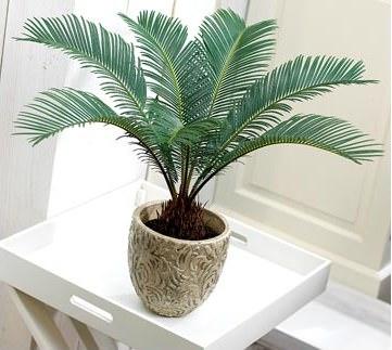 Цикас многим цветоводам известен как саговая пальма