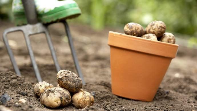 Средняя урожайность картофеля в нашей стране обычно составляет порядка 20-15 тонн с 1 га