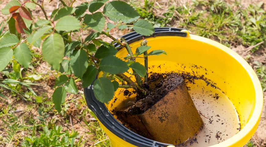 Перед высаживанием в открытый грунт рекомендуется поставить саженцы на пять-шесть часов в раствор комнатной температуры на основе биорегуляторов роста Гумисол-Н или Эпин