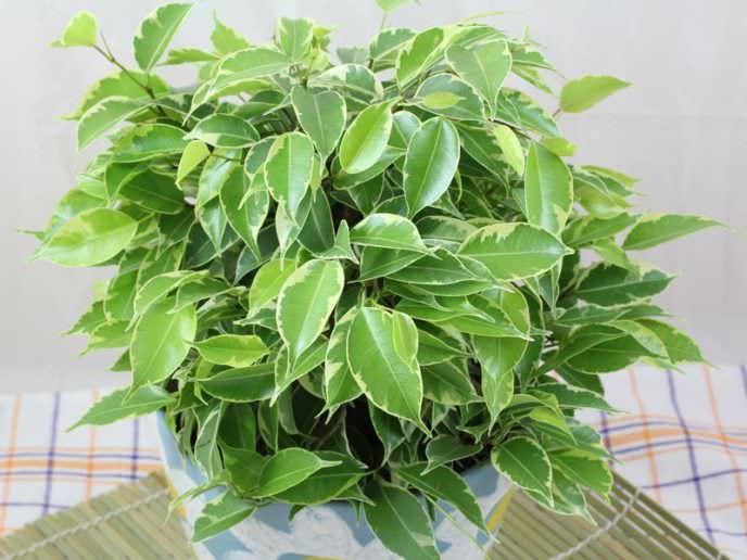 Насыщенную зеленую листву фикус Бенджамина приобретает при проведении внекорневых подкормок