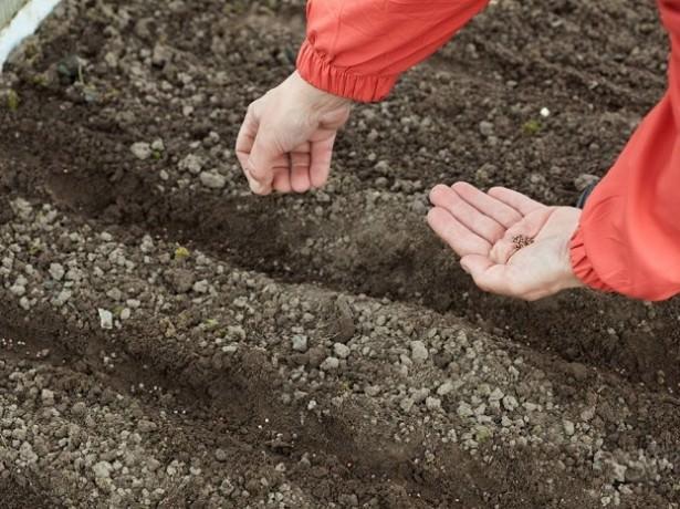 Незадолго до первых заморозков садоводы сеют петрушку и укроп