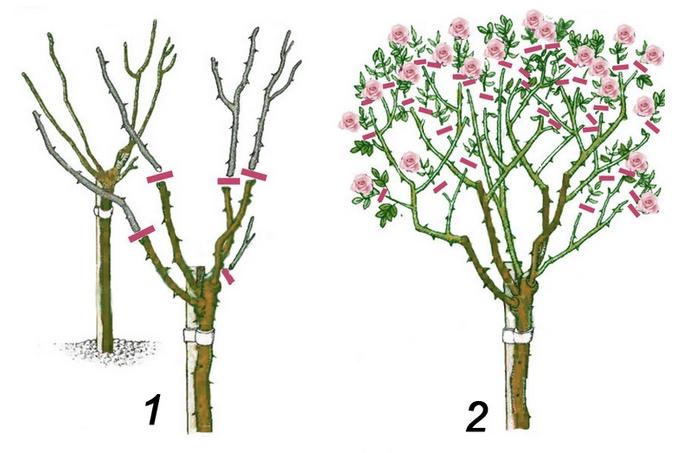 В осенний период чайные розы нуждаются в обрезке умеренного типа