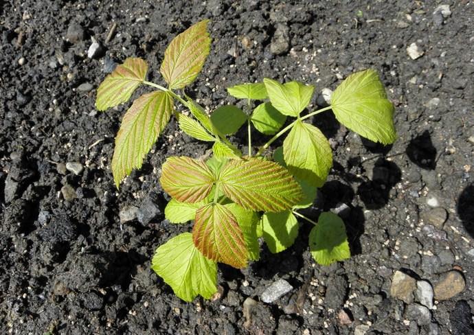 Малина требовательна к показателям плодородия почвы, но лучше всего растёт на рыхлых грунтах, представленных лёгкими суглинками
