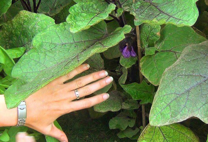 Обязательному удалению у баклажанов подлежат побеги, листья и цветки, растущие ниже разветвления на главном стебле