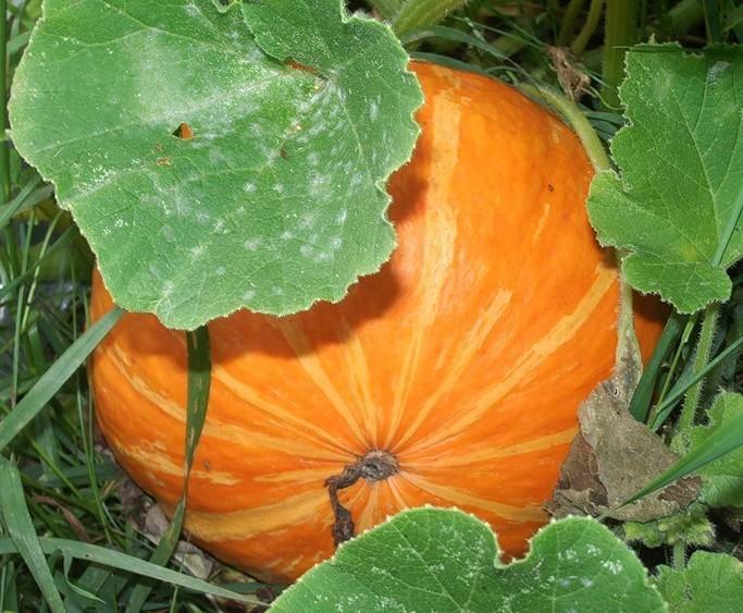 В открытом грунте целесообразно выращивать наиболее неприхотливые и устойчивые к внешним неблагоприятным фактором сорта или гибриды тыквы