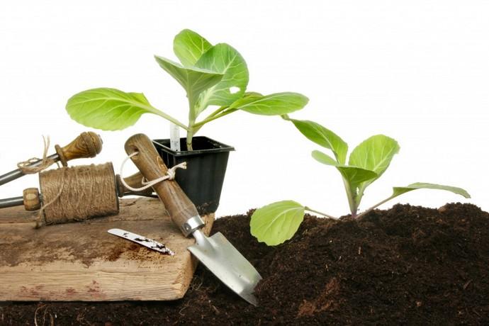 Сажают рассаду капусты сразу после перекопки грунта, что способствует сохранению оптимальной влажности