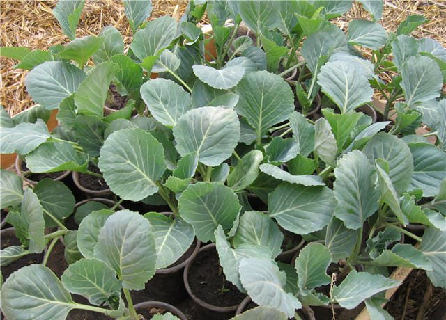 Рассадный способ направлен на получение ранней урожайности