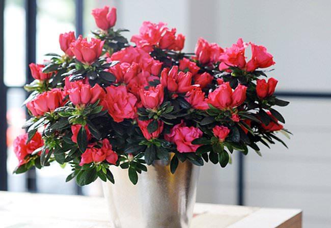 Красивоцветущая комнатная азалия популярна у отечественных цветоводов-любителей благодаря привлекательности и богатому выбору сортов