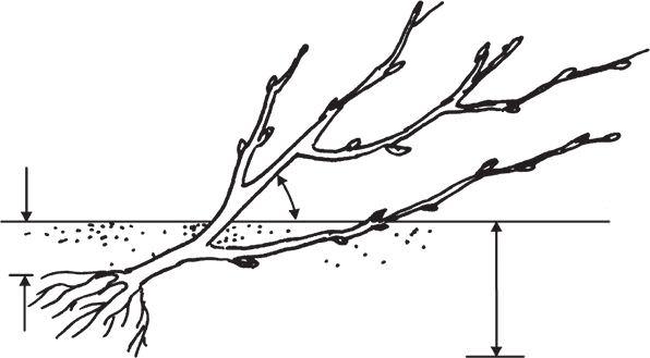 Посадка под наклоном нужна для интенсивного формирования корневой системы, а также для появления новых побегов