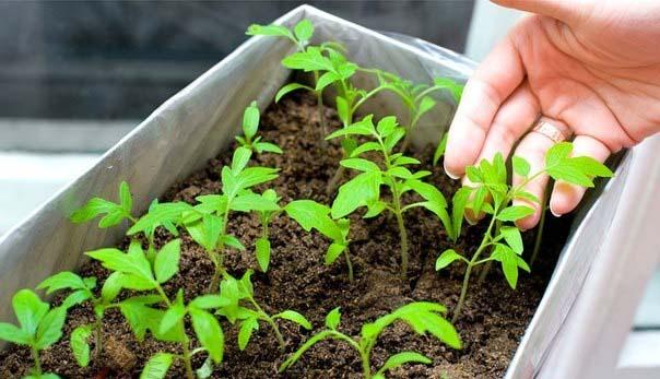 Выращивать рассаду томатов можно как с пикировкой, так и без пикировки