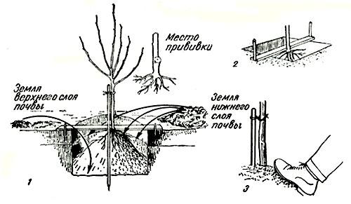 Осуществлять пересаживание выращенных абрикосовых саженцев на постоянное место рекомендуется в ранний весенний период, после схода снега, или осенью, в середине октября