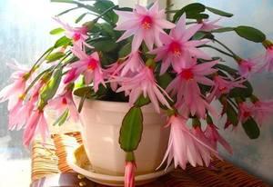 Растение декабрист