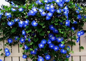 Как выгляди цветок ипомея