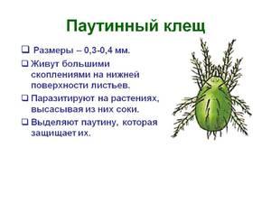 Описание паутинового клеща