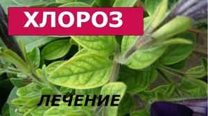 Хлороз у растений