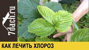 Растения и защита от хлороза