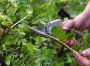 образка кустов смородины осенью