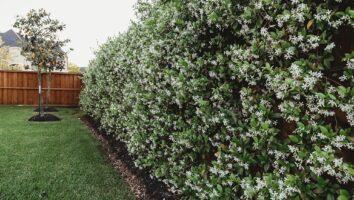 обрезка жасмина весной и осенью