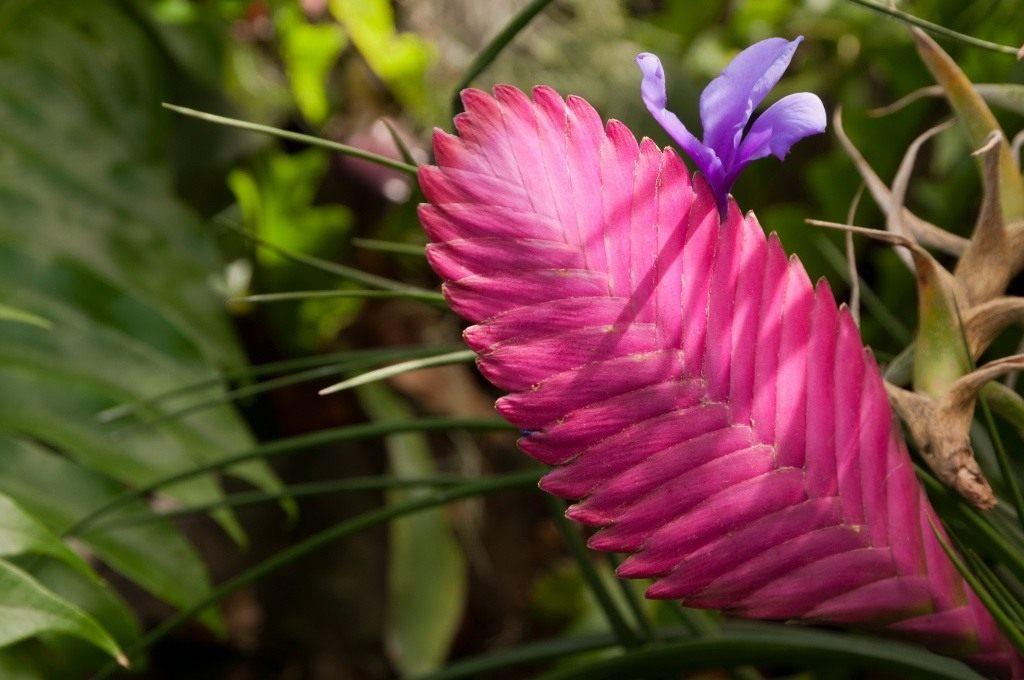 Тилландсия андре цветы