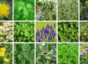 виды лекарственных трав