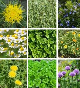 виды лекарственных трав и растений