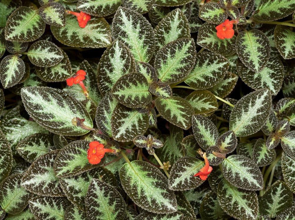 эписция домашнее растение