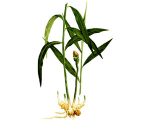 Имбирь растение корень