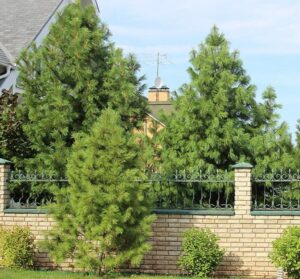 кедр на даче