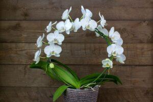 орхидея фаленопсис полив