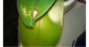 орхидея фаленопсис солнечный ожег