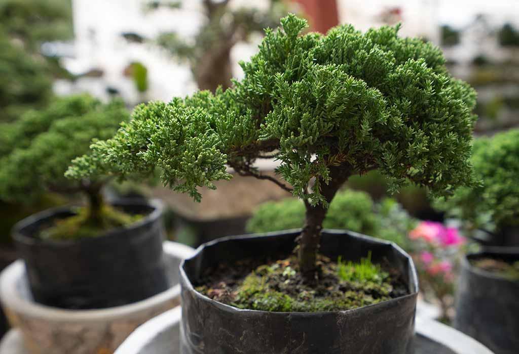 дерево бонсай дома
