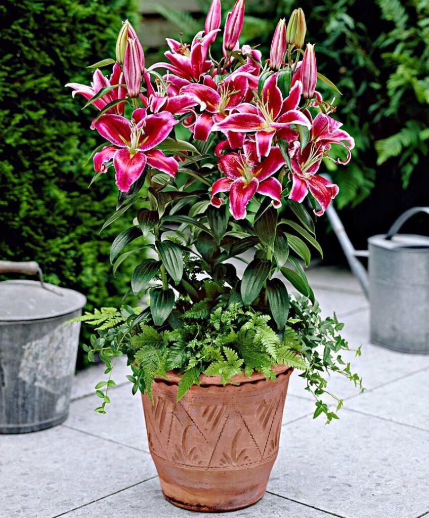лилия горшечное растение