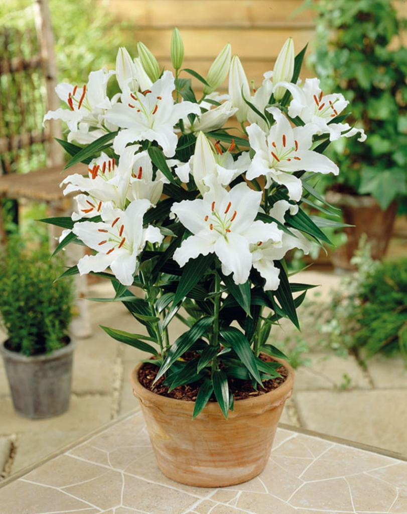 лилия горчечное растение дома